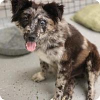 Australian Shepherd Mix Puppy for adoption in Phoenix, Arizona - Teo