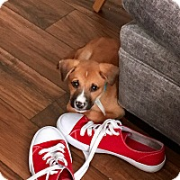 Black Mouth Cur Mix Puppy for adoption in San Antonio, Texas - Casey