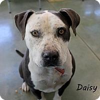 Adopt A Pet :: Daisy - Edgewood, NM