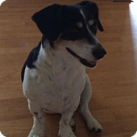 Beagle/Jack Russell Terrier Mix Dog for adoption in Corbin, Kentucky - Charli