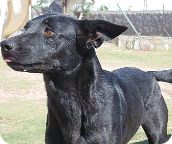Flat-Coated Retriever/Miniature Pinscher Mix Dog for adoption in Las Cruces, New Mexico - Rascal