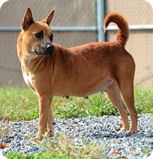 Australian Terrier/Basenji Mix Dog for adoption in Lincolnton, North Carolina - Nikki