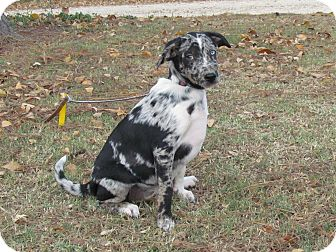 Australian Shepherd/Hound (Unknown Type) Mix Puppy for adoption in Bedminster, New Jersey - MYSTIC