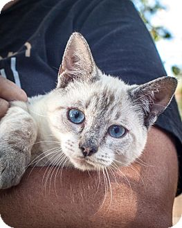 Siamese Cat for adoption in St Helena, California - Blue Peanut