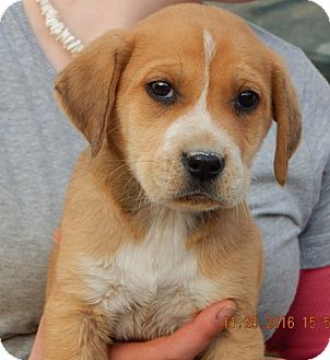 Akita/Retriever (Unknown Type) Mix Puppy for adoption in Sussex, New Jersey - Ember (5 lb) Video!