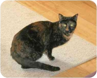 Domestic Shorthair Cat for adoption in Houston, Texas - Carly