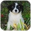 Photo 2 - Welsh Corgi/Papillon Mix Puppy for adoption in San Clemente, California - Sunshine