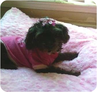 Poodle (Miniature) Dog for adoption in Houston, Texas - CANDY
