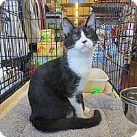 Adopt A Pet :: Little Joe - Redondo Beach, CA