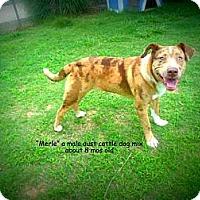 Adopt A Pet :: Merle - Gadsden, AL
