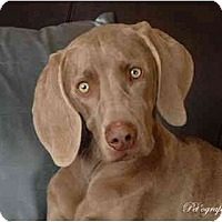 Adopt A Pet :: PRINCE REMINGTON - Las Vegas, NV