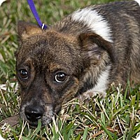 Adopt A Pet :: Choo Choo - Houston, TX