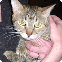 Domestic Shorthair Cat for adoption in St. Louis, Missouri - Jan - Special Adoption Rate