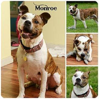 Pit Bull Terrier Dog for adoption in Sioux Falls, South Dakota - Monroe
