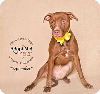 Labrador Retriever/Pit Bull Terrier Mix Dog for adoption in Rocky Hill, Connecticut - September