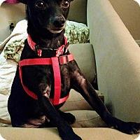 Adopt A Pet :: Eli - Andalusia, PA