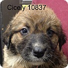 Adopt A Pet :: Cicely