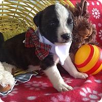 Adopt A Pet :: Dallas - springtown, TX