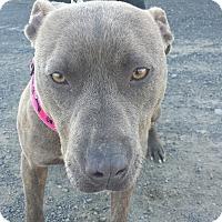Adopt A Pet :: Hazelnut-Foster Needed - Kirkland, WA