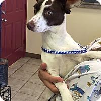 Adopt A Pet :: Morgan - Norwalk, CT