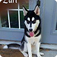 Adopt A Pet :: Zuri - Clearwater, FL