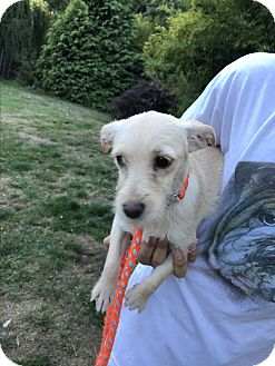 Terrier (Unknown Type, Small) Mix Puppy for adoption in Tumwater, Washington - Luise