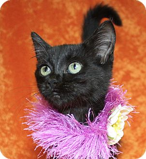 Domestic Shorthair Kitten for adoption in Jackson, Michigan - Kira