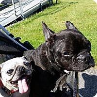 Adopt A Pet :: Bruno - Alden, NY