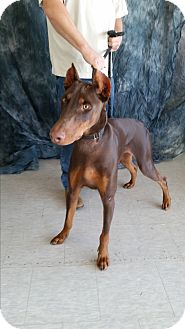Doberman Pinscher Dog for adoption in Columbus, Ohio - Maverick