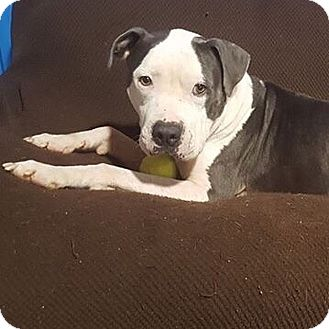 American Bulldog/Boxer Mix Dog for adoption in Conroe, Texas - Chance