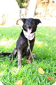 Collie/Labrador Retriever Mix Puppy for adoption in Castro Valley, California - Beala