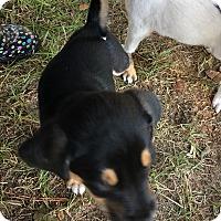 Adopt A Pet :: Pumpkin spice - Garner, NC