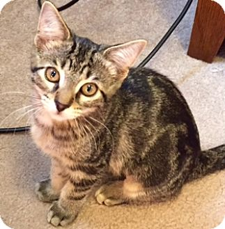 Domestic Shorthair Cat for adoption in Walled Lake, Michigan - West