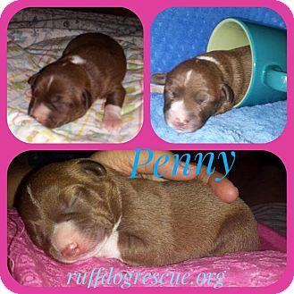 Chihuahua/Corgi Mix Puppy for adoption in Milton, Georgia - Penny