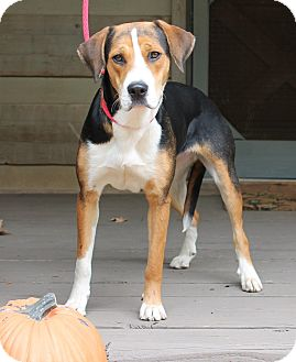 Foxhound Mix Puppy for adoption in East Dover, Vermont - Missy - PENDING