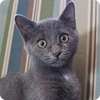 Russian Blue Cat for adoption in Ocala, Florida - Ebony