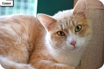 Domestic Shorthair Cat for adoption in Lakewood, Colorado - Connor