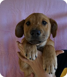 German Shepherd Dog/Labrador Retriever Mix Puppy for adoption in Oviedo, Florida - Gabe
