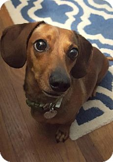 Dachshund Dog for adoption in Columbia, Tennessee - Max #15 in TN