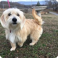 Adopt A Pet :: Blondie - Spring Valley, NY