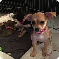 Adopt A Pet :: Bambi(chiweenie) - Santa Ana, CA