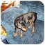 Photo 2 - Miniature Pinscher Dog for adoption in Springvale, Maine - KyAnn