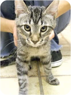 Domestic Mediumhair Kitten for adoption in Bonita Springs, Florida - Tony