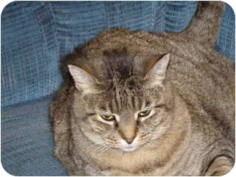 Domestic Shorthair Cat for adoption in Scottsdale, Arizona - Remmy-sophisticate