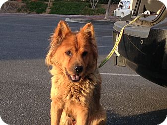 Chow Chow Mix Dog for adoption in San Diego, California - Cally URGENT