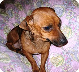 Dachshund/Chihuahua Mix Dog for adoption in Glendale, Arizona - Sunny