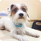 Adopt A Pet :: SIMON
