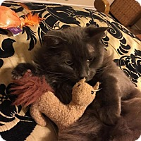 Adopt A Pet :: Izzy - Hurst, TX