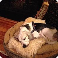 Adopt A Pet :: Etienne (Eddy) - Waldorf, MD