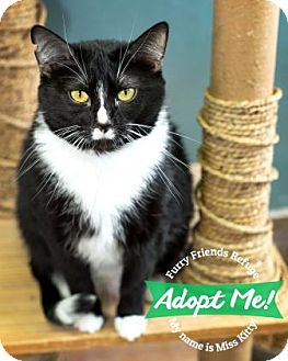 Domestic Shorthair Cat for adoption in West Des Moines, Iowa - Miss Kitty